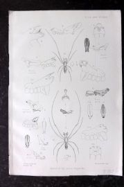 PZS 1880 Antique Insect Print. Spiders of the Genus Argyrodes.